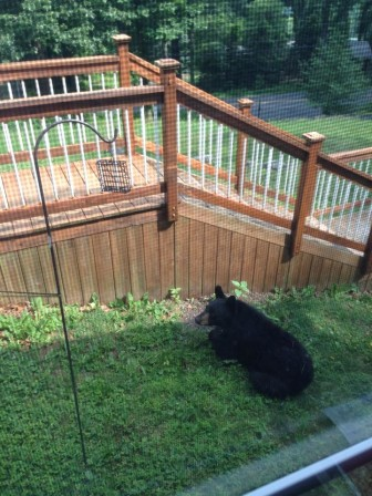 This black bear was spotted near a birdfeeder on a Springtown Hill Road property in Lower Saucon Township Friday morning.