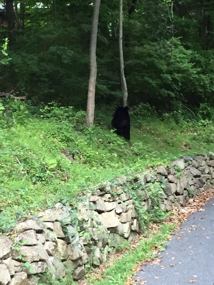 A black bear was seen along Apple Street near Mockingbird Hill Road in Lower Saucon Township on Aug. 10, 2015.