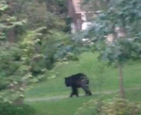 A still from the bear video filmed by Michael Karabin on Aug. 16, 2015.