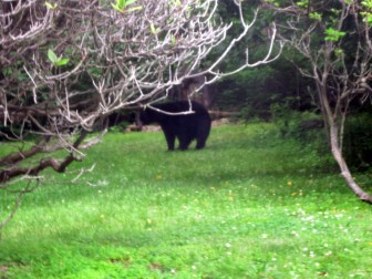This black bear was recently photographed in a yard on Silver Creek Road in Lower Saucon Township.
