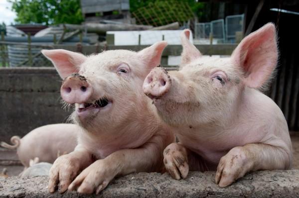 SV loves their Hogs