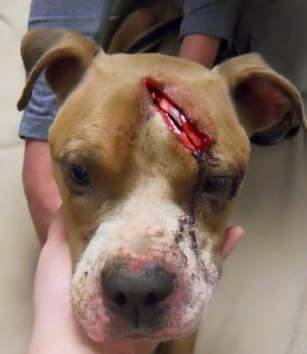 When Sally was first rescued in the 300 block of N. Jefferson Street, Allentown, she had gashes all over her body and was emaciated.