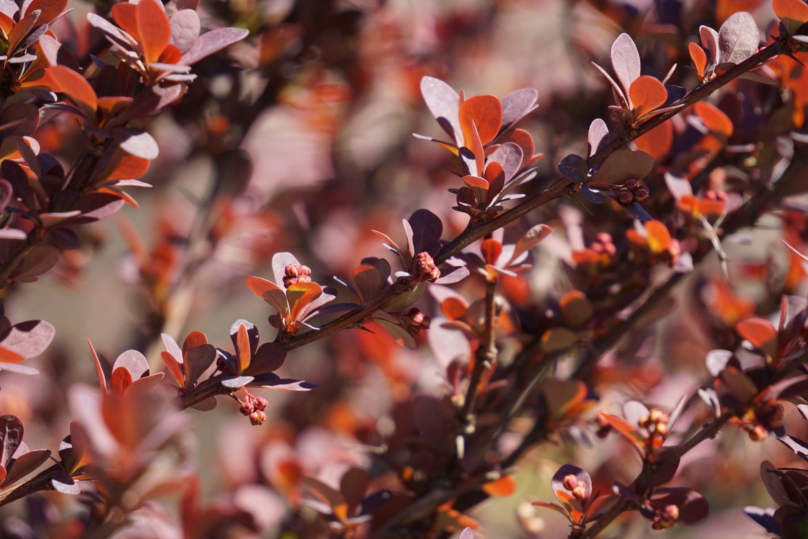 barberry bushes