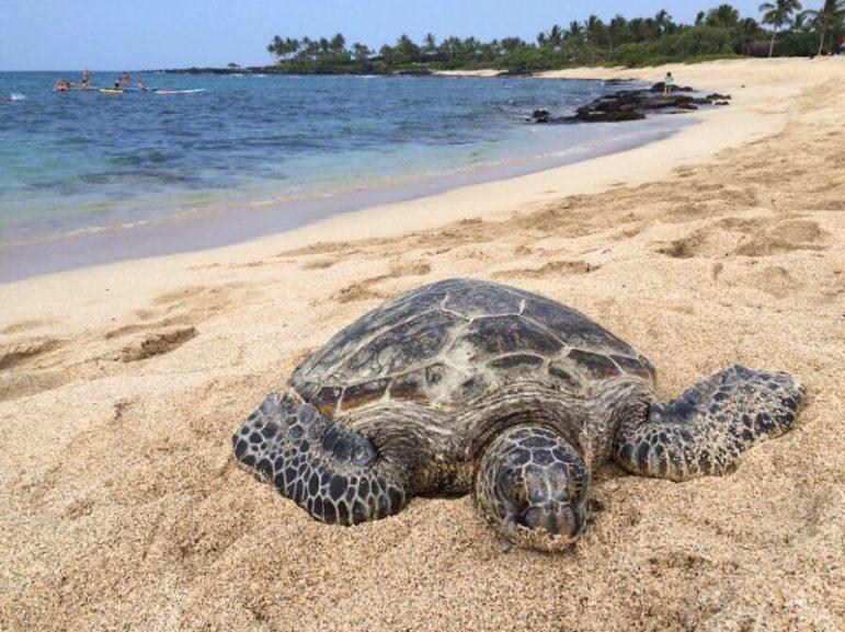 Turtle Kona Hawaii