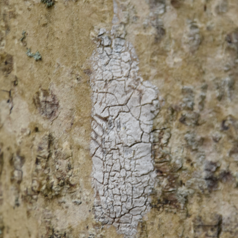 Egg Closeup Lanternfly