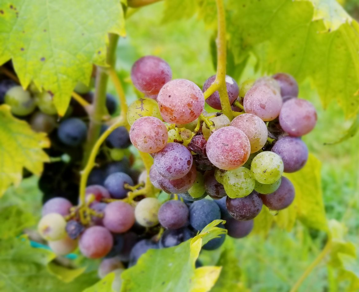 Wycombe Vineyards Grapes