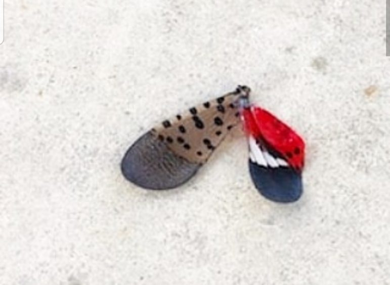 See a Praying Mantis Devour a Spotted Lanternfly (Photos)