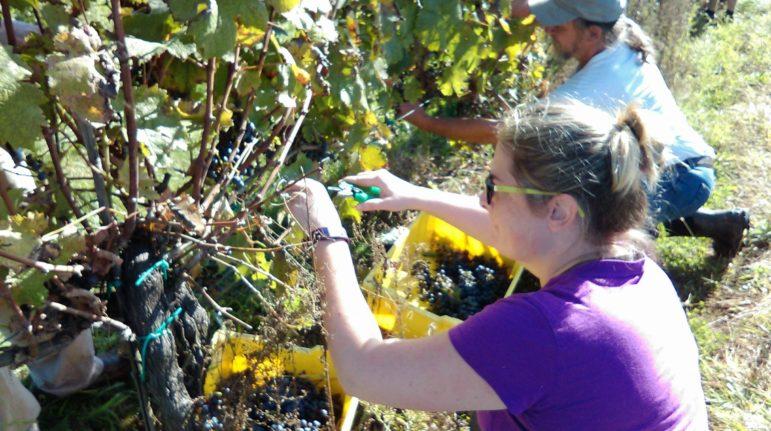 Wycombe harvest wines