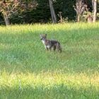 Coyote Sighting Lower Saucon
