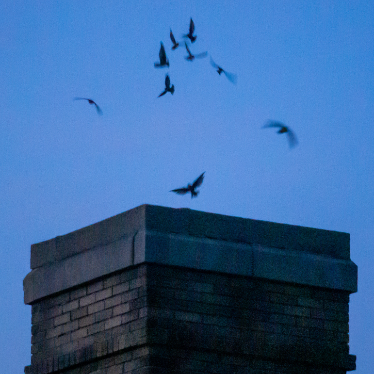 Chimney Swifts Bethlehem