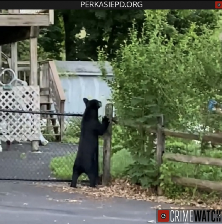 Perkasie Bear